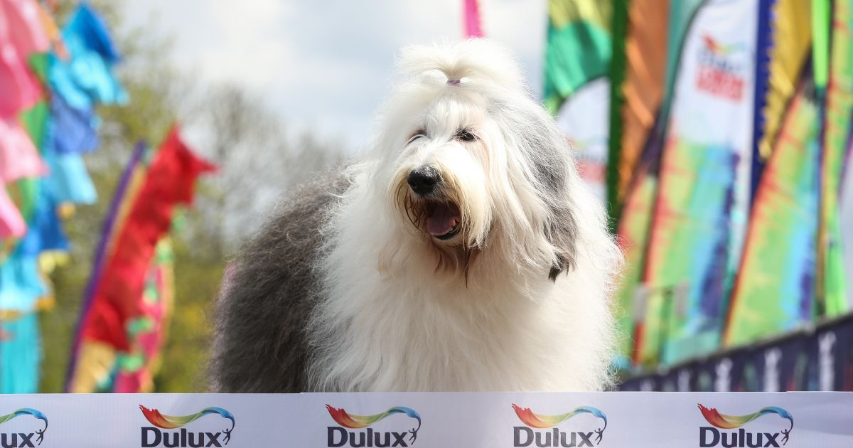 The Dulux dog